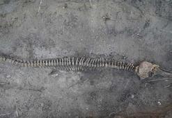 Şişe burunlu yunus iskeleti topraktan çıkarıldı