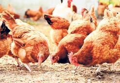 Tavuklara kekikli yem