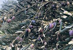 Zeytinyağı bol ama hileye dikkat