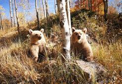 Nemrut'un ziyaretçilerini kardeş boz ayılar karşılıyor