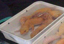 Kapıkulede piton ile yavru timsah ve kertenkele ele geçirildi