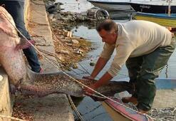 Tam 80 kilo Balıkçının ağına takıldı