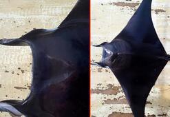 Şeytan vatozu Antalya Körfezinde ilk kez görüldü
