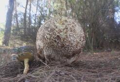 Muğlada 3 kilogramlık mantar bulundu