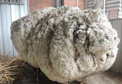 41 kiloluk yünüyle dünya rekoru sahibi olan koyun öldü