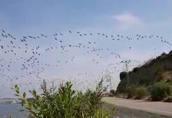 Hatayda pelikanların göç yolculuğu