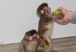 Sınır kapısında ele geçirilen maymunlar koruma altına alındı
