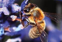 Arılar hakkında hiç bilmediğiniz şaşırtıcı bilgiler