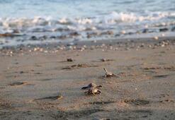 250 bin yavru deniz kaplumbağası denizle buluştu