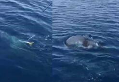 Oltadaki balon balığına fok şoku