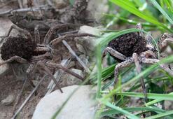 Bu örümcek üzerinde yüzlerce yavrusunu taşıyor