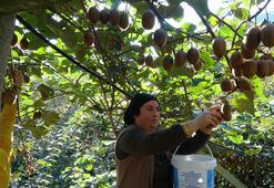 Türkiyenin en fazla kivi üretilen 2. ilinde hasat zamanı