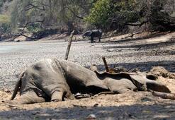 Kuraklık 105 fili öldürdü