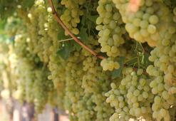 Türkiyeden 56 ülkeye 120 milyon dolarlık üzüm ihracatı
