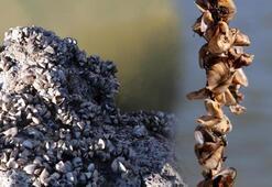 Van Gölü Havzasında zebra midye tehlikesi