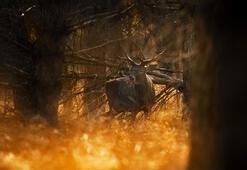 Nadir görülen kızıl geyikleri fotoğraf sanatçısı görüntüledi