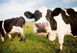 Kasırgada denize sürüklenen 3 inek, kilometrelerce uzakta ortaya çıktı