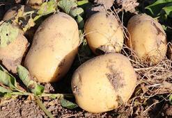 Çiftçilere patates siğiline karşı destek