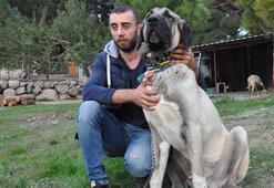 Kaz Dağları'nda yetişen Kangala büyük talep