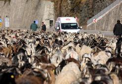 Koyun sürüsü ile karayoluna çıktı, trafik kilitlendi