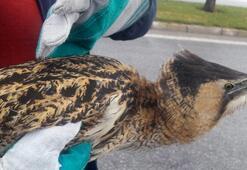 Nesli tükenmekte olan Balaban kuşu o ilimizde bulundu