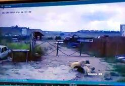 Köpeğin saldırdığı bekçiyi, başka bir köpek kurtardı
