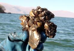 Çıldır Gölünde zebra midye tehlikesi