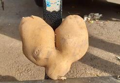 Bu patateslerin tanesi 1 kiloyu geçiyor