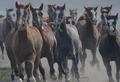 Safkan Arap atına ait spermadan numune alınacak