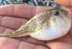 Balon balığının ilaç için ihraç edileceği haberi balıkçıları sevindirdi
