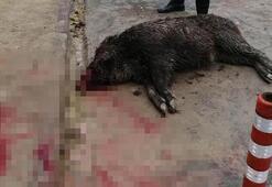 Acil servis bahçesine yaralı domuz düştü
