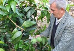 Diktiği 12 mango ağacından 45 bin lira kazandı