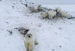 Rusyada 50den fazla kutup ayısı köye yaklaştı, okullara koruma verildi