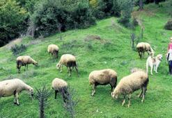 Haftaiçi öğrenci, haftasonu çoban