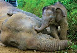 Malezyada nesli tükenmekte olan bir fil ölü bulundu