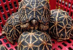 Aralarında Hint yıldızlı kaplumbağa bile var Hepsi kurtarıldı