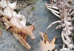 Trabzondaki hayvan iskeleti su samuruna ait çıktı