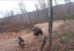 Yaban domuzunu avlamak isterken ölümden döndü