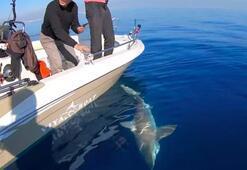 Dev köpek balığı oltaya takıldı