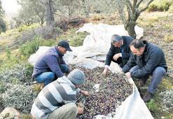 Zeytin hasadı yapan üreticiye tam destek