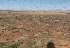 Suudi Arabistanı çöl çekirgeleri bastı