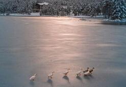 Buz tutan gölette ördek geçişi
