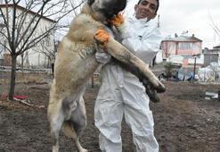 Sahibi, Herkül isimli Kangal köpeğine paha biçemiyor