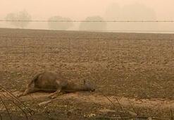 Yürekleri dağlayan görüntü Binlerce kanguru ve koala...