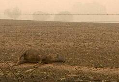 Feci manzara Binlerce kanguru ve koala...