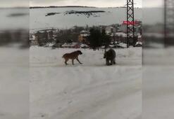 Kış uykusu öncesi yemek arayan boz ayının köpeklerle mücadelesi