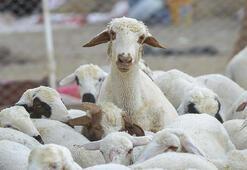 Küçükbaş hayvancılıkta atılım stratejisi