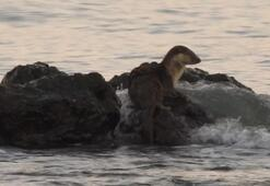 Marmara Denizinde su samuru sahilinde görüntülendi