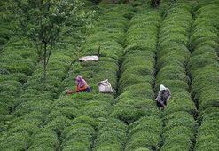 ÇAYKUR 2019da kuru çay satışında hedefini tutturdu