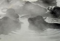 Güroymak'taki doğal kaplıcaya mandalarıyla birlikte giriyorlar